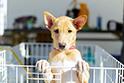 日本では子犬が人気となるため、子犬は譲渡されやすい。