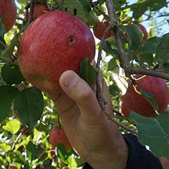 大野農園のリンゴ