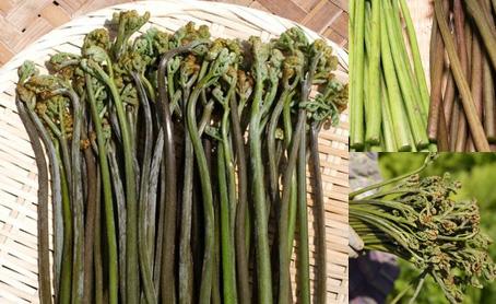 天然山菜ワラビ