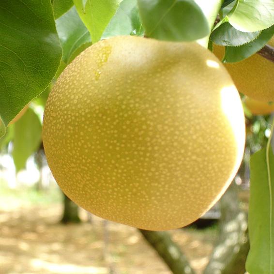 萱場の梨「幸水や豊水など」特秀5kg