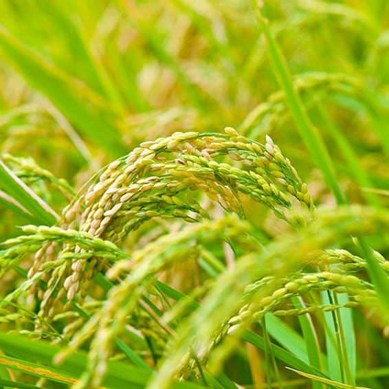 産地限定 泉田米25kg 泉田地区は高品質こしひかりを生産する米どころ