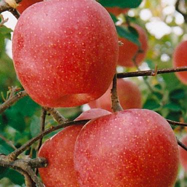 ふじりんご 特選品 4キロ化粧箱