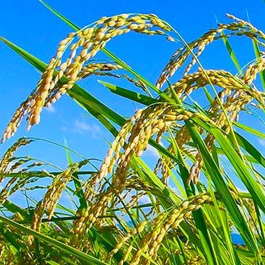 会津滋養米コシヒカリ 限定生産米