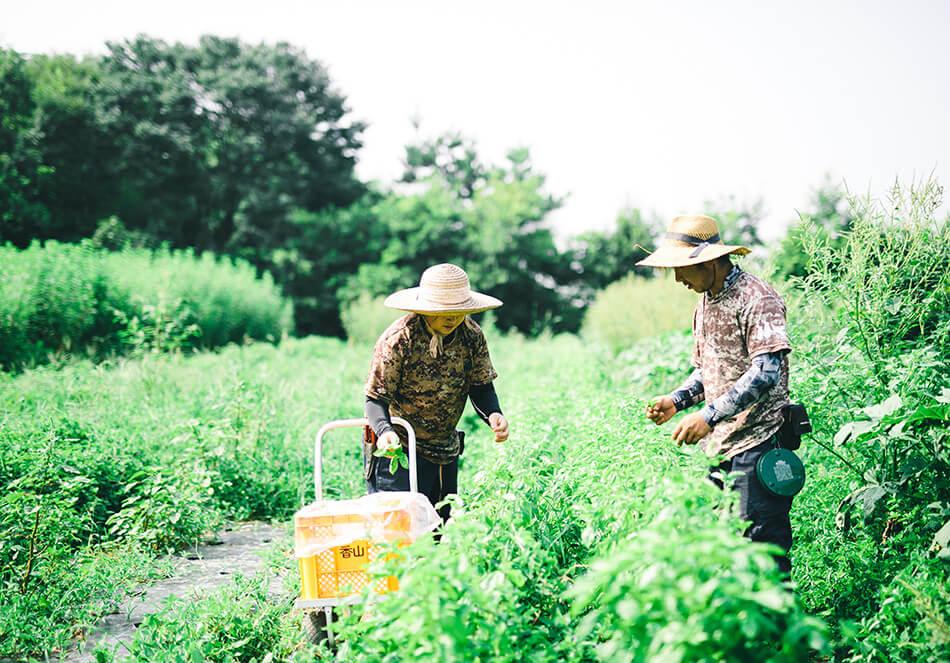 バジルを収穫する二人