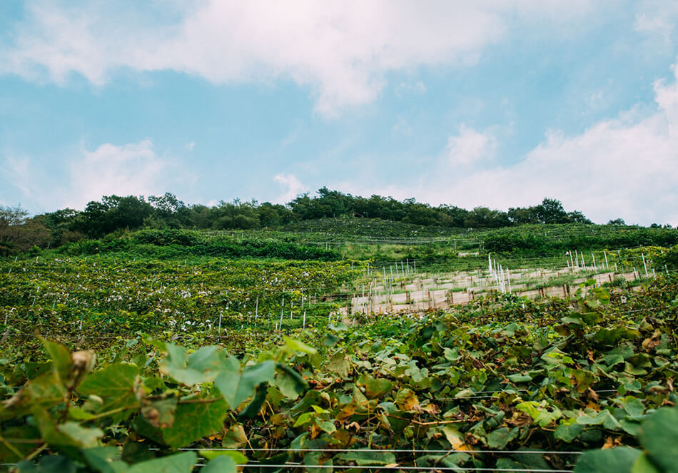 ぶどう畑の真ん中には、流されて丸坊主になった部分