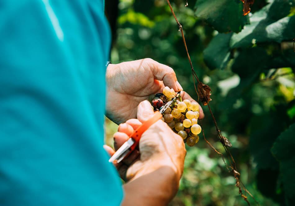実りの時期を襲った台風19号<br>人とぶどうを育てるココ・ファーム・ワイナリーの実直なワインづくりとはの写真