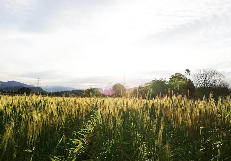 有機栽培の麦畑