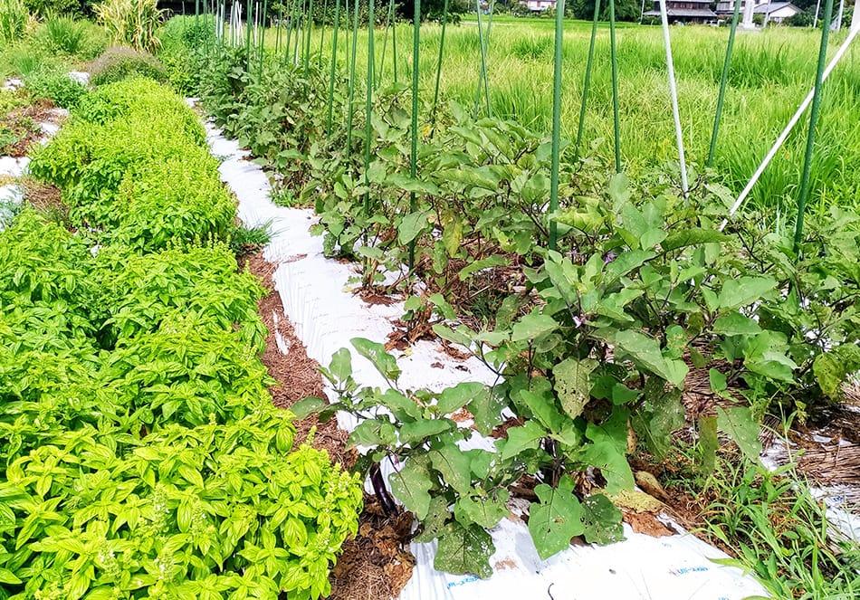 有機栽培の野菜の様子