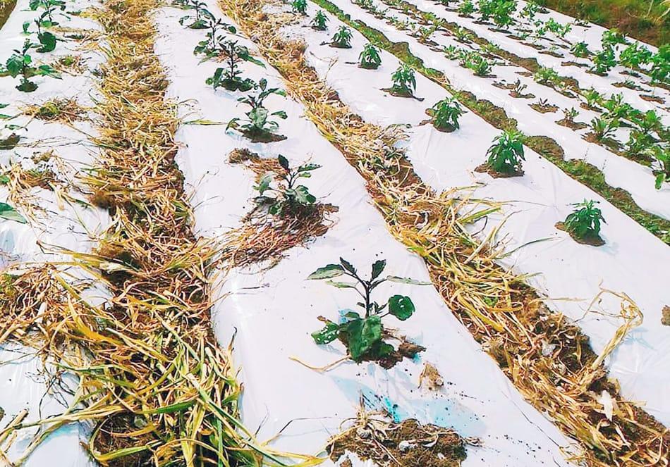 有機栽培の畑で育つ苗