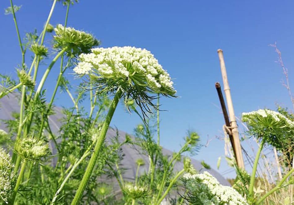 有機野菜 にんじんの花