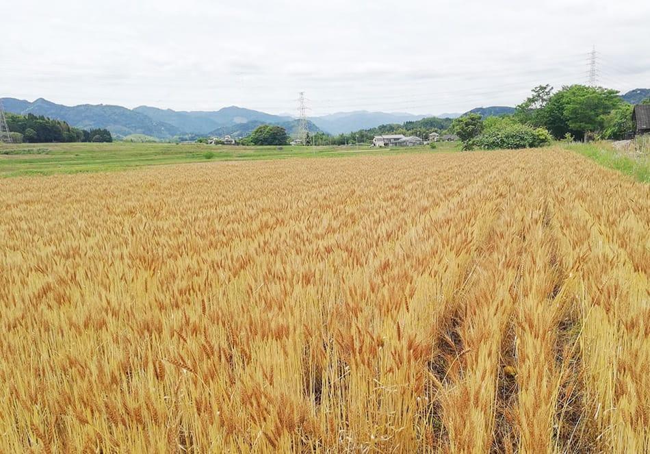 有機栽培の小麦