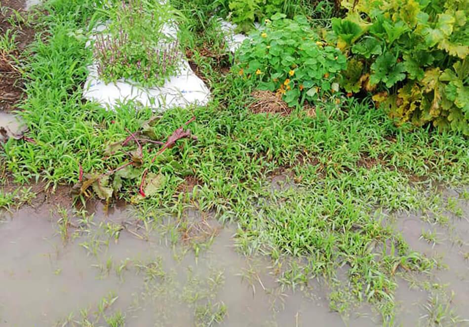大雨の影響で水がたまる深瀬さんの畑
