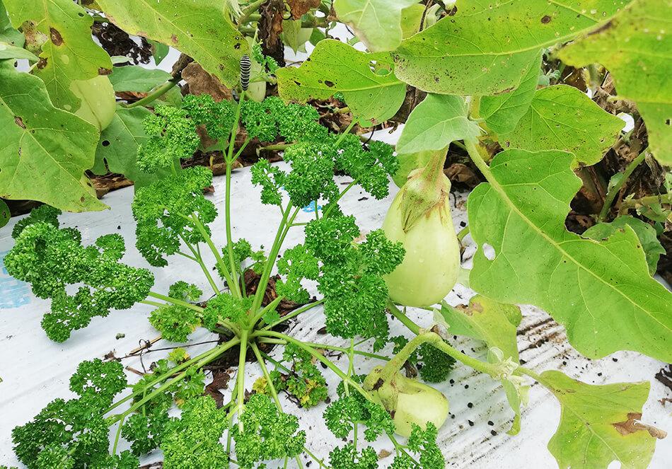 ナスの木陰にパセリを植えている様子
