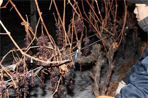冬場のぶどうの収穫の様子