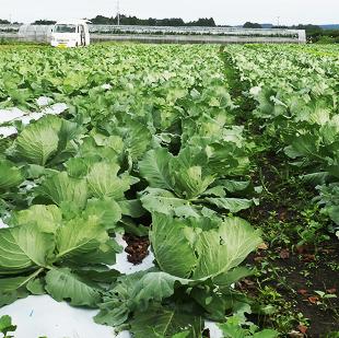 画像:外の畑で育つ葉野菜