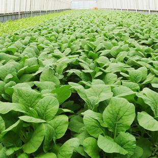 画像:ビニールハウスで育つ葉野菜