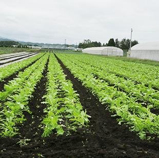 画像:畑に整然と並ぶ野菜