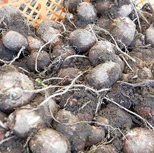 画像:かごに入った採れたての芋