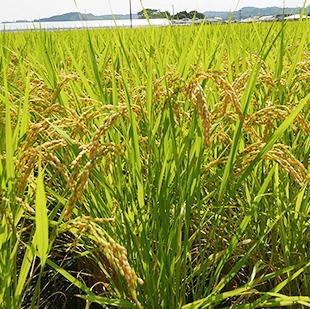 画像:黄金色の稲穂が並ぶ田んぼ