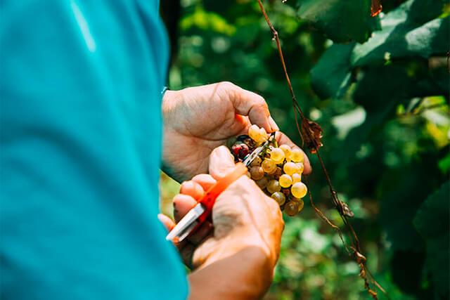 実りの時期を襲った台風19号 人とぶどうを育てるココ·ファーム·ワイナリーの実直なワインづくりとは