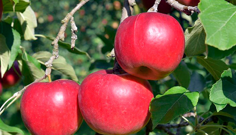 百年の樹齢「昔ながらの紅玉」