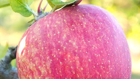 志賀高原のサンふじりんご