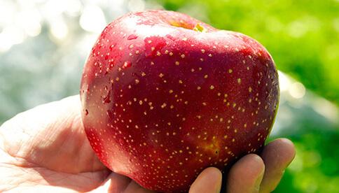 訳あり、品種おまかせリンゴ