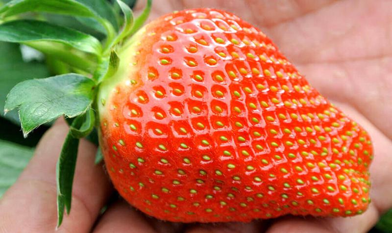 消えゆく大粒イチゴ「アイベリー」