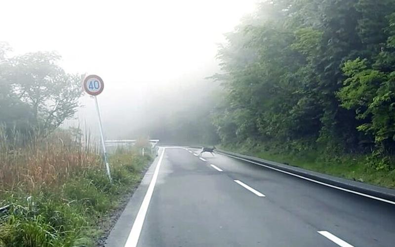 霧が立ち込める中シカが道路を横断している様子