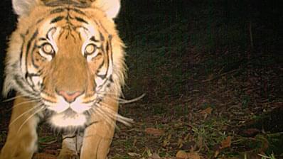 ヒマラヤに棲む「天空のトラ」、その謎に迫る映像を独占入手