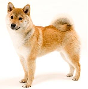 5月1日生まれの柴犬