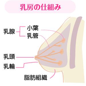 乳房の仕組み