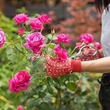 うちは、ガーデニングが好きで、薔薇等花を育てています。 今日隣の奥さんに、こぼれ種で薔薇が出てきたり、苺も出て大変迷惑なので、何とかする様に言われました。境界はうちで塀を作っています。 塀を挟んで草だらけの所に、確かに薔薇の苗の様なのが数本出てビニールテープで印が付けてありました。 苺は、物干し竿周辺に生育していました。 余り植えた覚えがなく、うちの苺ですか?と言うと昔、植えていたでしょう!...