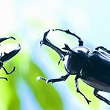 マヤシロカブトの蛹は縦向きですか?横向きですか?