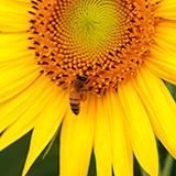日本ミツバチは重箱式で西洋ミツバチは巣枠式で育てるのが一般的なのは何故なのでしょうか? 日本ミツバチを巣枠式で育てたり西洋ミツバチを重箱式で育てたりはデメリットが大きいのでしょうか?