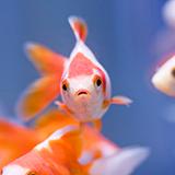最近、赤い金魚の体が黒ずんできました。 突然変異でしょうか?