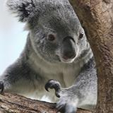 丸っこい顔と身体で一日中食っちゃ寝をしているコアラやパンダは動物園の人気者で、世界でも珍重されるのに、 同じくパンダやコアラのように丸っこい顔と身体で一日中食っちゃ寝を繰り返している私は、人気になら...