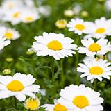 【なぞなぞ】 下の□に当てはまる花の名前は何でしょうか? (理由もお書きください。) □生麻