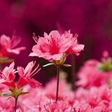 見た目がレタスの断面みたいな見た目をしてる花ってなんでしたっけ? 良く、街中の花壇に咲いてるのをみます。