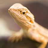 レプタイルボックスで飼育可能な生物について質問です。  アクリルケースのレプタイルボックス(W300×D200×H155mm)で飼育できる生き物ってヤモリ・ヘビ・昆虫以外だと何がいますか?