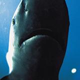 今日、日本海の水深そこそこあるとこでアシカ?アザラシ?みたいなヒゲの生えた黒い生き物が魚を咥えたまま浮上してきて魚を水面に叩きつけて捕食している光景を見ました。とても興味が湧いていてなんていう動物か知 りたいのですが調べてもいまいちわかりません。わかる方教えてください。