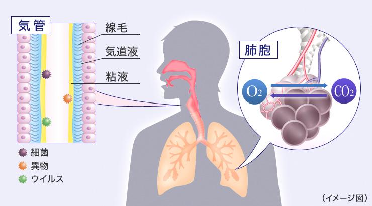 呼吸器の説明図