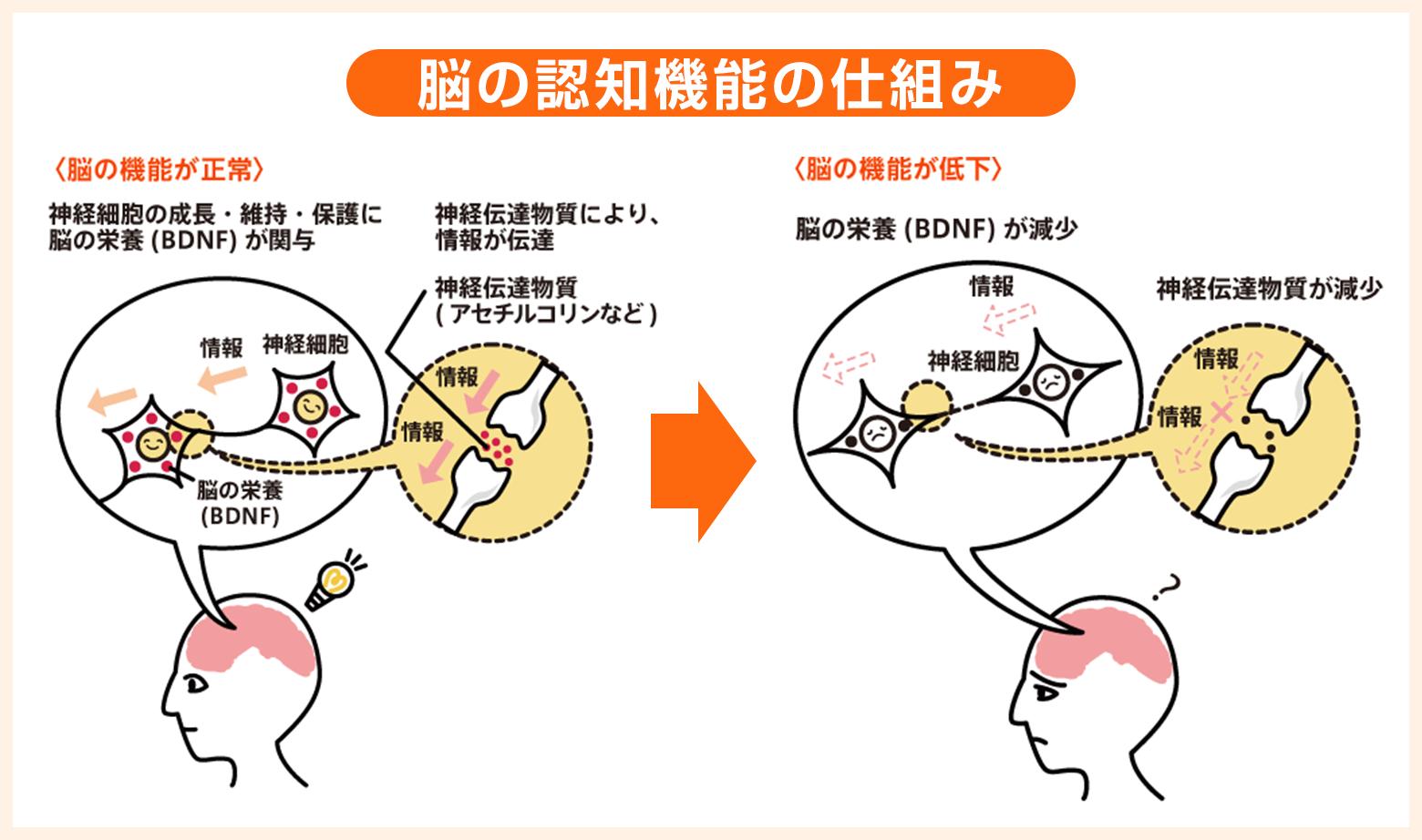 脳の認知機能の仕組み