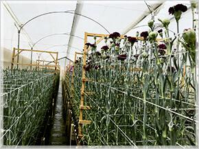 花の生育に適した、赤道直下の高山地帯で生産