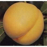 福島の桃 黄金桃