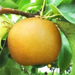 福島県産 梨 もぎたて完熟