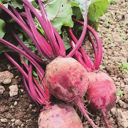 有機栽培農家のビーツ 2kg
