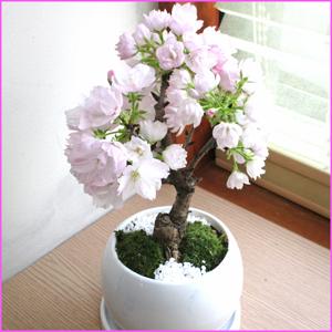 京都産 一才桜 の鉢物 旭山桜