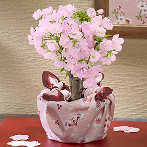 桜鉢「旭山 二股接ぎ木」 (風呂敷包み)
