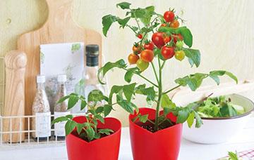 ハートマトの栽培方法